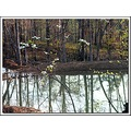 reflectionthursday pond dogwood