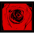 rose black red