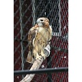 bird zoo animal redtailedhawk