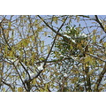 blue tit tree snow hazel catkins