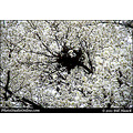 stlouis missouri usa spring tree blossom white light perspective 032711