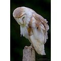 barn owl bird prey raptor