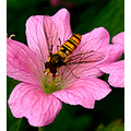 hoverfly nature macro wildlife garden