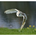 Barn Owl UK