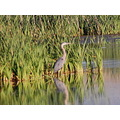 Reflections Blue Heron Wildlife Metcalf Stevensville MT 2009