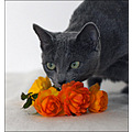 holly russianblue cat roses