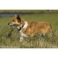 dog dogs Welsh corgi Cardigan