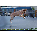 Rowdy enjoying the trampoline...Notice there is no padding around it... he ate it, but he's bette...