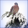 woodpigeon bird snow