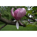 Tree Flower Magnolia