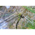 Dragonfly Snowdon mountain