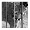 teracotta poland rumia ZOO puma animal