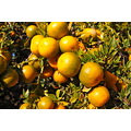 citrus huntington library mjghajar