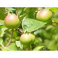 Crab Apples Green Fruit Nature