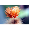 flower cactus orange