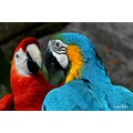 Blue-and-yellow Macaw and Red Macaw