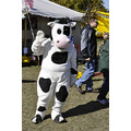 upstate newyork road lafayette apple festival cow