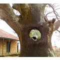 saphira oak tree tree old tree