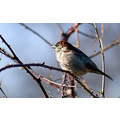 birds bird wildlife nature colourful sparrow feathers tree thorns branch