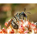 World's Smallest Bee: August 9, 2008: This is a bee in the subgenus of Dialictus. According to th...