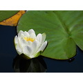 flower nature waterlily