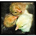 poultry hen cockerel rooster feather chick bird