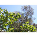 benicia beniciafph capital garden tree fig summer olive