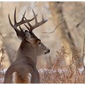 white tail deer nature canada