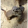 AnimalMonday MeerKats