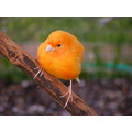 Red Factor Canary Bird