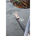 Sturgeon fish fishing river