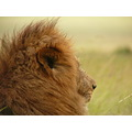 lion wildlife MasaiMara Kenya