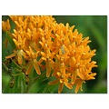 butterflyweed bug insect flower orange
