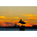 Pelican sunset fremantle littleollie