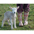 walking the lamb