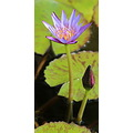 lily pad flower purple Tampa