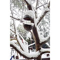 bird nest snow icicle walnut tree