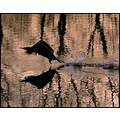 birds cormorant reflection