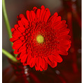 Another Red Hot Gerbera. It's a great flower to take pictures of.