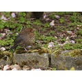 e620 leaves moss bird female blackbird reykjavik Iceland
