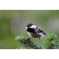 birds chestnut backed chickadee burnaby lake bc