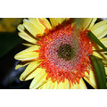 flower orange yellow