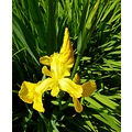 Yellow Iris Jeanmac
