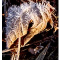 Spiky Frosty Leaf