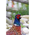 nature bird pheasant