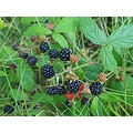 nature blackberries fruit woods Bohemia