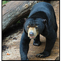 stlouis missouri us usa zoo animal Malaysian SunBear bear 2007