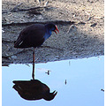 reflectionthursday Swamp Hen low water tomato lake perth littleollie