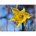 daffodil flower yellow