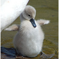 mmmstreaker bird swan cute nature